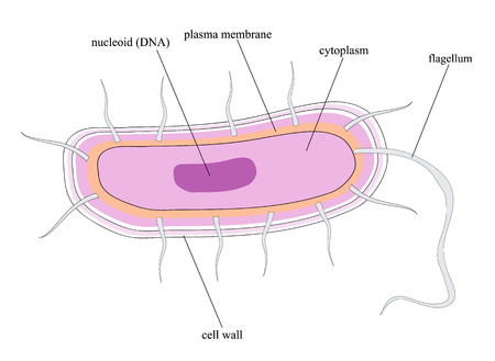 chromosomal: Overall structure of a bacterial cell