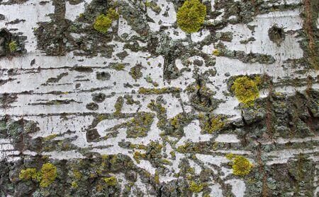 arbol alamo: árbol del fondo de musgo. Álamo Foto de archivo