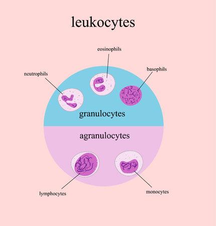 Types of White blood cells, leukocytes. Monocyte, neutrophil, lymphocyte basophil and eosinophil