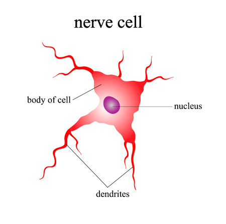 Illustration of the human nerve cell on a white background. Indication of parts of the cell