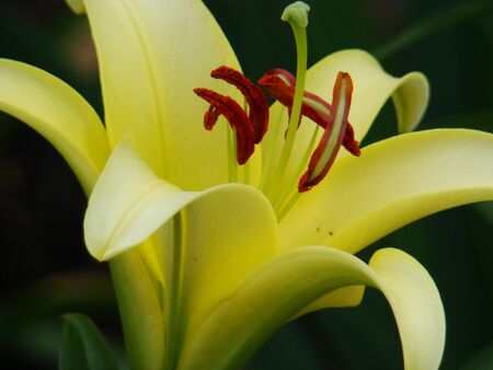 Lily, a flower of a yellow lily. Photograph of a large yellow lily flower. A photo.