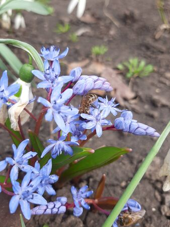 Bluebell flower and bee. A bee pollinates a blue bluebell flower. Photograph of a blue bluebell flower in spring. Photo. 版權商用圖片