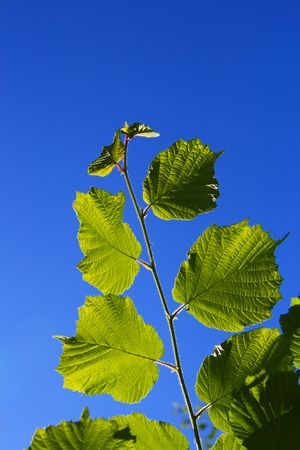 backlite: green leaves on blue sky background, backlite Stock Photo