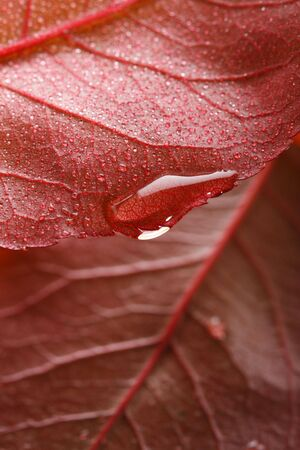waterdrop on a edge of red leaf, shallow dof photo