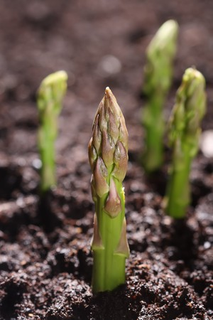 green asparagus spear emerging through the soil, shalow DOF