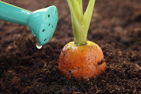 veg: carrot growing in the soil and watering can, shallow DOF Stock Photo