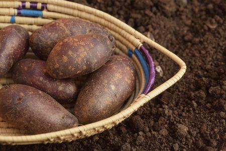 black potato in basket on the soil in a garden, top view Stock Photo - 4640880