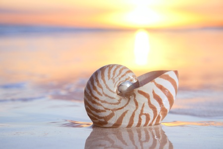 nautilus shell in the sea , sunrise. shallow dof