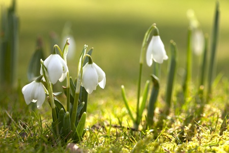 snowdrop: snowdrop flowers in morning, soft focus, perfect for postcard
