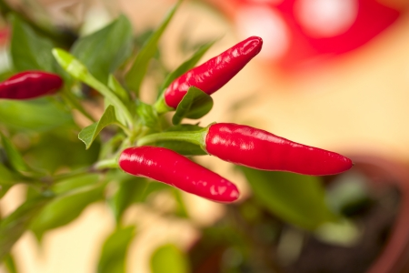 spicy plant: red chilli pepper plant, very hot! shallow focus Stock Photo
