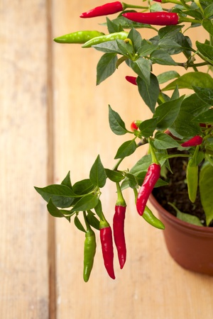 red chilli pepper plant, very hot! shallow focus photo