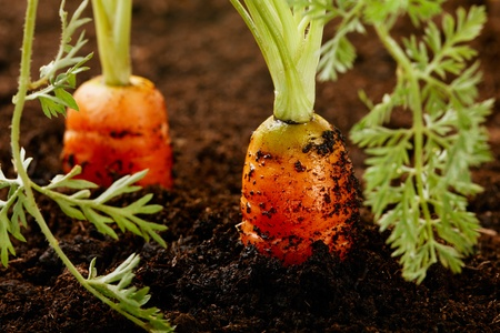 veg: carrots growing in the soil, shalow DOF