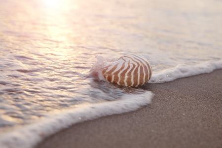 nite: nautilus shell in the sea wave and sunrise light, shallow dof