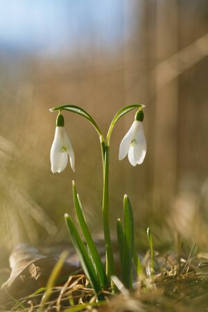 two lovely snowdrop flowers soft focus, perfect for postcard photo