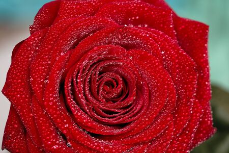 deep red rose frower background with water drops, shallow DOF photo