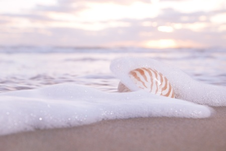 nautilus shell: nautilus shell in the sea wave and sunrise light, shallow dof