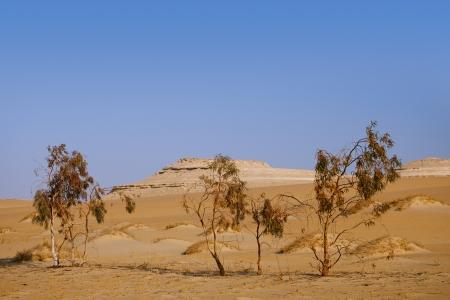desert scenes: trees in Desert Sahara oasis , Egypt