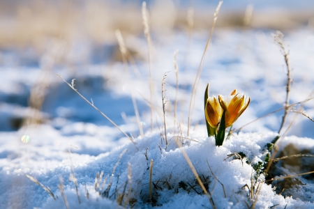 yellow snowdrop in high mountain valley, super macro Standard-Bild