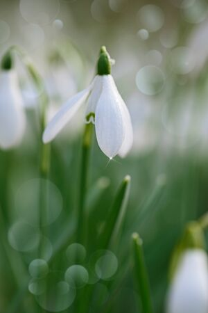 snowdrop flower soft focus, perfect for postcard Stock Photo - 17360048