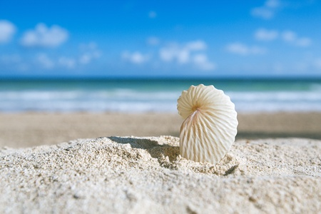 argonaut: paper nautilus shell  with ocean , beach and seascape, shallow dof