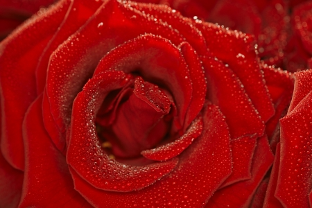 Red natural rose background  with droplets photo