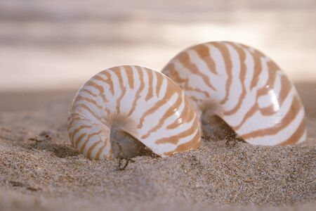 two nautilus shells on beach, sunrise and  tropical sea, shallow dof photo