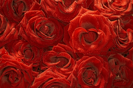velvet roses background  with droplets photo
