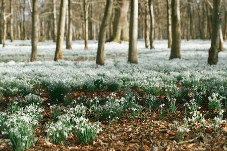 snowdrop flowers  in  winter  forest  perfect for postcard Stock Photo - 26026347