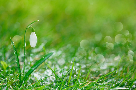 snowdrop: sparkly snowdrop flower, very soft tiny focus, perfect for spring gift card Stock Photo