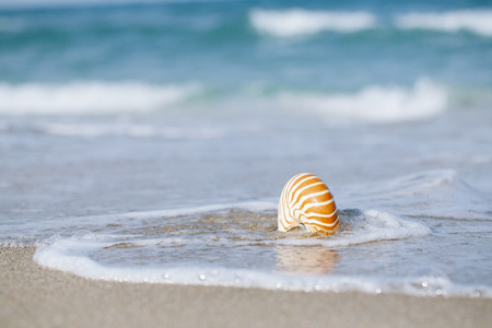 nautilus pompilius: nautilus shell with sea wave,  Florida beach  under the sun light, live action