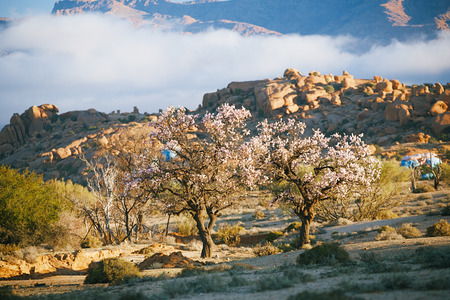 Blooming almond in Tafraout, Morocco photo