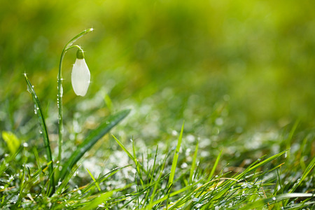sparkly snowdrop flower, very soft tiny focus, perfect for spring gift card photo