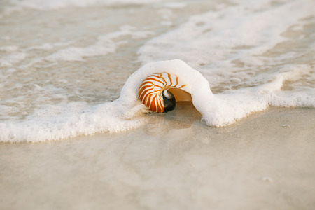 nautilus shell: nautilus shell with sea wave,  Florida beach  under the sun light, live action