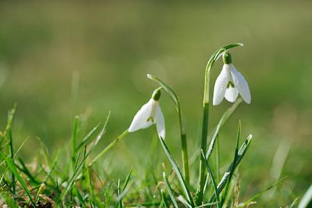snowdrop: sparkly snowdrop flower soft focus, perfect for postcard