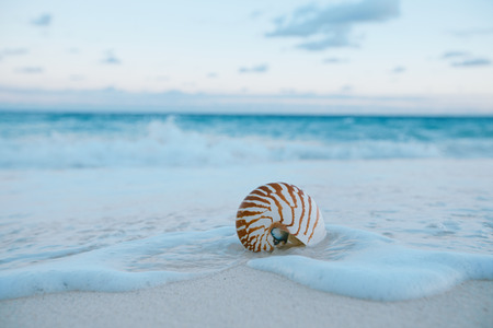 nautilus shell: nautilus sea shell on golden sand beach with waves in  soft sunset light, shallow dof
