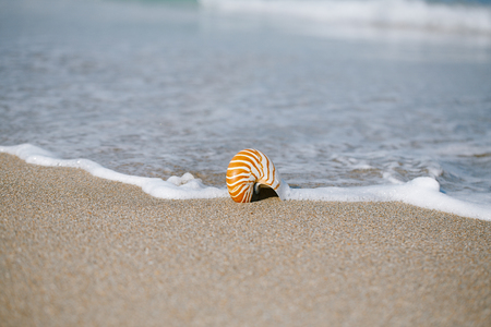 florida beach: nautilus shell with sea wave,  Florida beach  under the sun light, live action