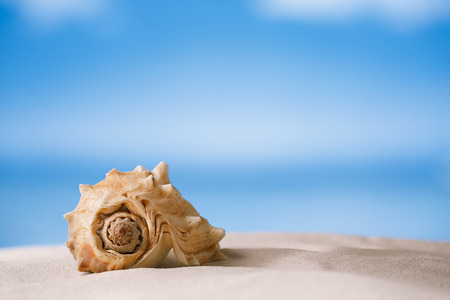 florida beach: tropical shell on white Florida beach sand under sun light, shallow dof