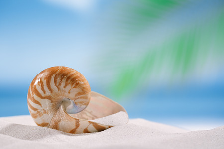 nautilus shell: nautilus shell on white sandy beach sand under the sun light, shallow dof