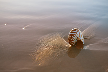 nautilus: seashell nautilus on sea beach under sunset sun light, Agadir, Marocco Stock Photo