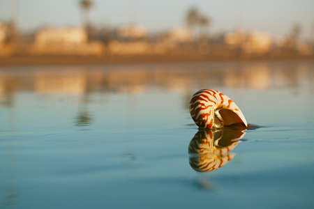 nautilus: seashell nautilus on Agadir beach under sunset sun