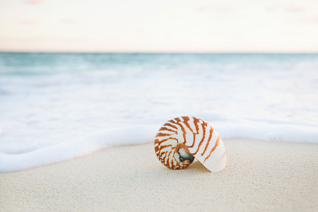 nautilus shell: nautilus sea shell on golden sand beach with waves in  gentle sunrise light, shallow dof