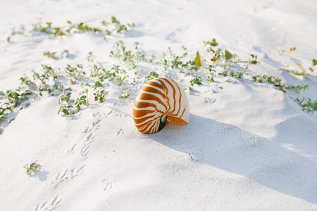 sandy beach: nautilus shell on white Florida beach sand under sun light, shallow dof Stock Photo