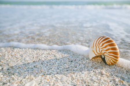nautilus shell: nautilus shell in ocean with waves under the sun light,  shallow dof