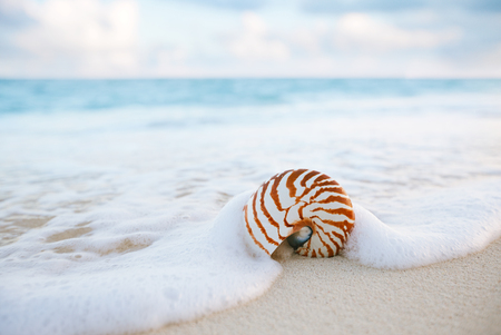 faraway: nautilus sea shell on golden sand beach with waves in  soft sunset light, shallow dof