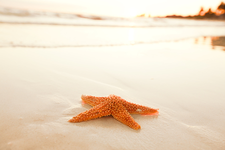 gloaming: starfish shell on beach in sunrise light, seascape, live action