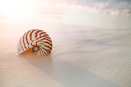 sea shell: golden nautilus shell in sea water with sun on sunrise ..