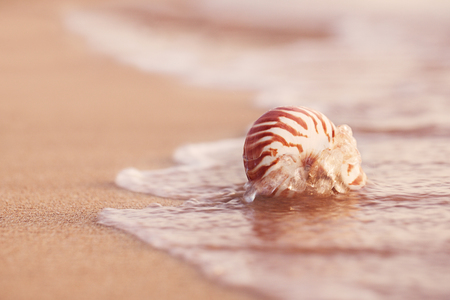 seashell nautilus on sea beach under red sunset sun light, live action, tropical sea Banco de Imagens