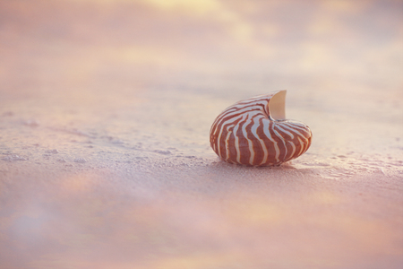 nautilus sea shell on golden sand beach  in  delicate pink sunrise ight, shallow dof
