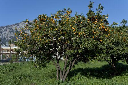 naranja arbol: Naranjo. Kemer Turqu�a.