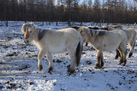 coldly: Yakut horses in winter.